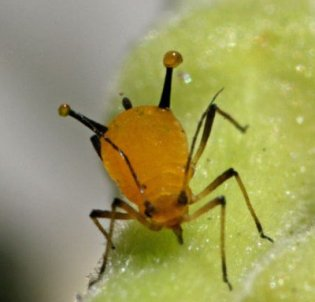 what do aphids look like