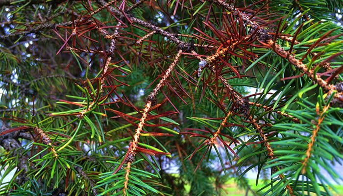 Blue Spruce Tree Needles Turning Brown?
