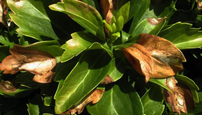 New Strain Of Boxwood Blight Found
