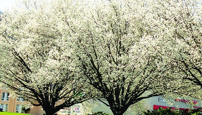 Bradford Pear Tree: What's All The Buzz?