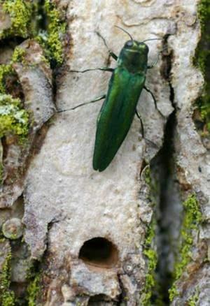 emerald ash borer is invasive species