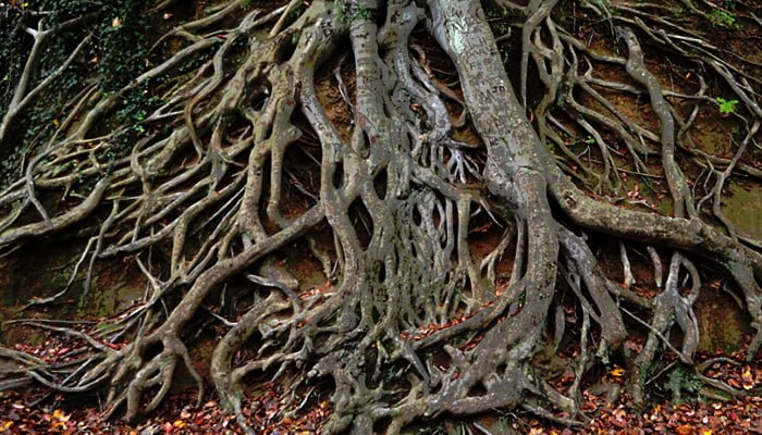 Is your tree's root system healthy?