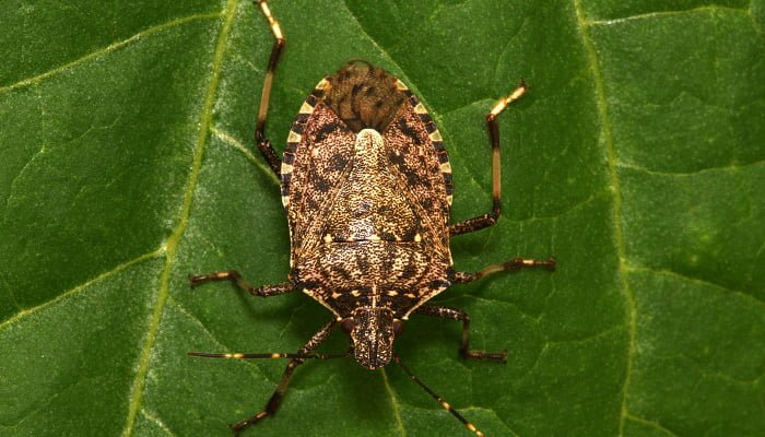 The stink bug: History, Facts, Management