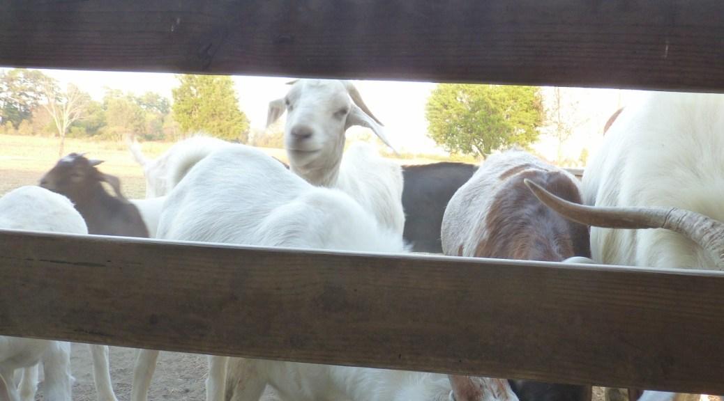herd of Boer goats