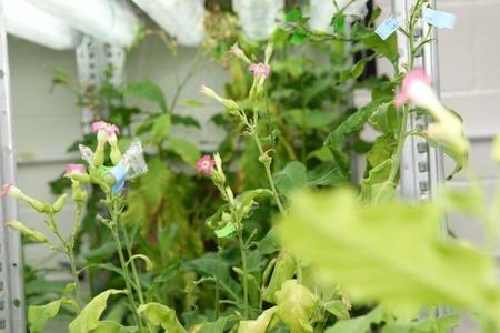 Tobacco Plants (GMO)