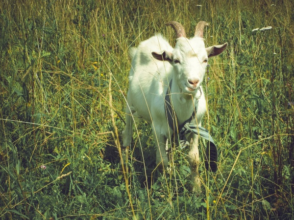 Hire A Goat Grazer – use goats to take out your overgrown lawn