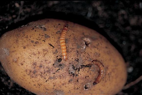 New eco-friendly wireworm killing fungus could reduce the need for pesticides
