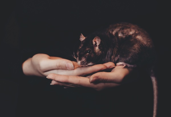 More Rats? – numbers may be climbing thanks to climate change