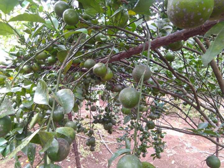 kebun wisata petik buah jeruk di purwokerto
