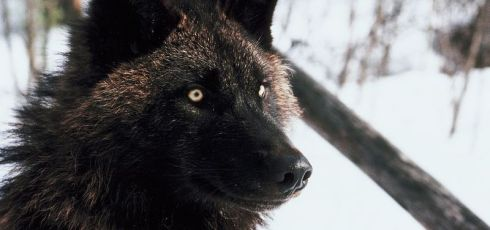 Black Wolf Mystery Solved