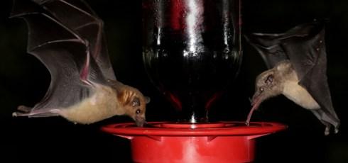 Bats Get Tongue Erections To Soak Up Extra Nectar