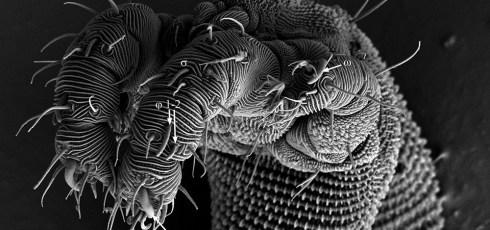 Microscopic Creepy-Crawly Discovered By Ohio State Graduate Student