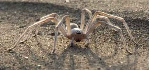 Cartwheels In The Sand: Amazing Movements Of The Flic-Flac Spider