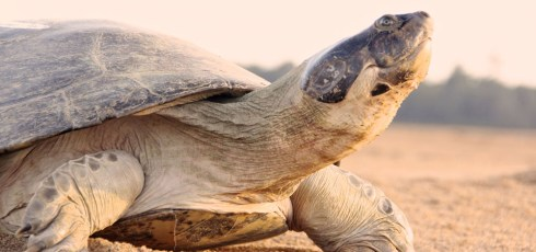 Talking River Turtles Produce Vocalizations To Coordinate Activities, Care For Young