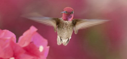 Hummingbird Wings Generate Lift More Efficiently Than The Best Micro-Helicopter Blades