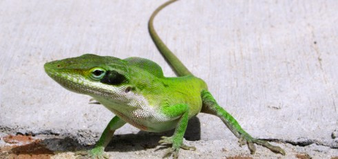 "Discovery Of Genetic Secret ""Recipe"" For How Lizards Regrow Their Tails Could Help Human Recovery"