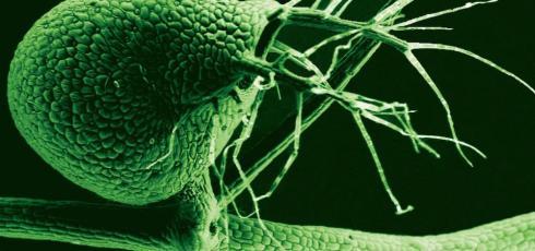 Carnivorous blatterwort genome is like a Tardis