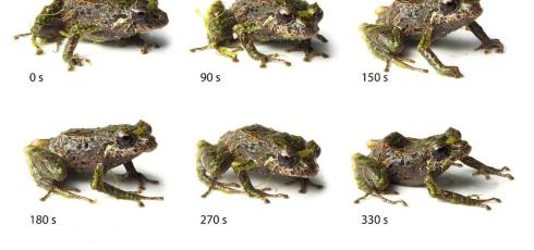 Scientists discover shape-shifting frog in Ecuador