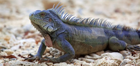 Invasive lizards may outnumber people in Puerto Rico