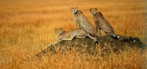 Cheetah populations speeding towards extinction, study finds
