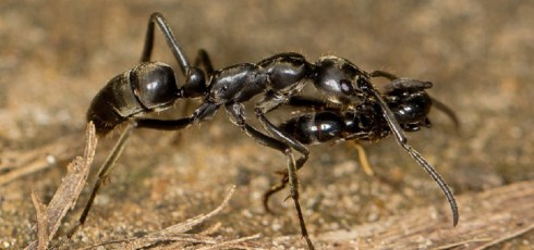 No Ant Left Behind: Ants will rescue wounded colony mates