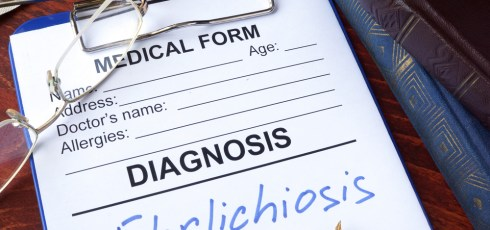 What is Ehrlichiosis?