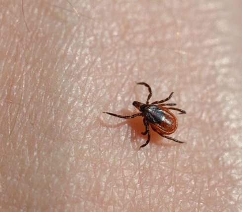 Ticks That Carry Lyme Disease