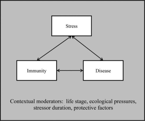impact of stress on the immune system