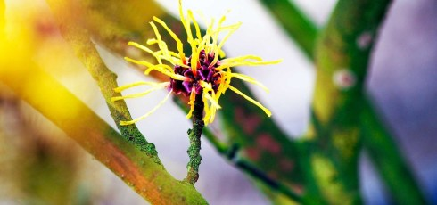 Natural Cure: Top 10 Uses for Witch Hazel