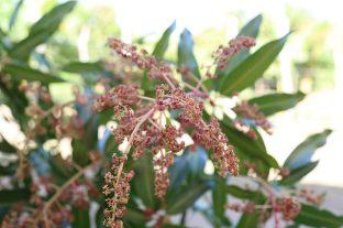flor de mango