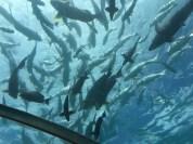 Blick aus dem Ithaa: Die Fischfütterung lockt Haie an