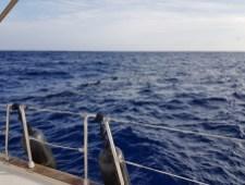 Zwischen La Gomera und der Südküste kann man auch Grindwale und Delfine beobachten. In Colon startet unsere Bootsexkursion... Und tatsächlich...nach etwa 1/2 Stunde sehen wir die ersten Delfine. Ein tolles Erlebnis!