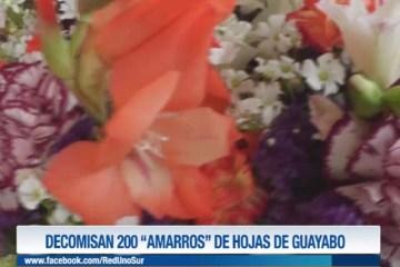 """DECOMISAN 200 """"AMARROS"""" DE HOJAS DE GUAYABO"""