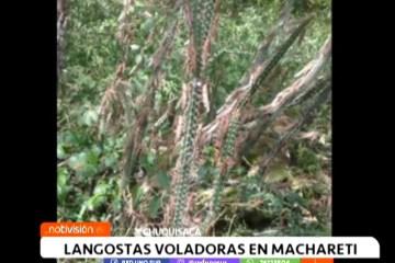 PLAGA DE LANGOSTAS VOLADORAS EN MACHARETÍ