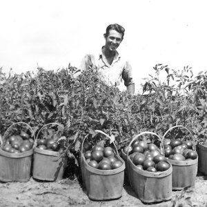 1948---first-tomatoes-Russ