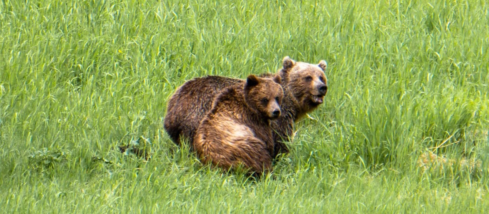 A Grizzly Bear Encounter in The Wild