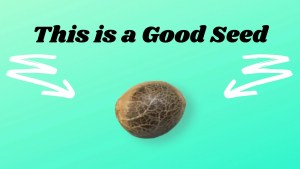 Good Cannabis Seed