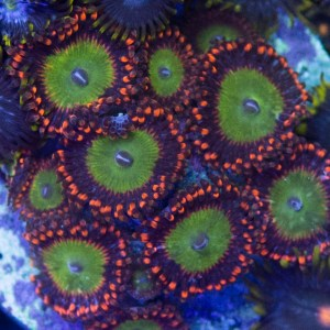 Candy Apple Red Zoas