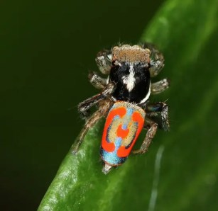 Probably the prettiest spider around, the Peacock Spider can be found in the Mediterranean.