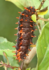 This caterpillar will become a Crimson Rose Swallowtail, a large swallowtail butterfly found in India and Sri Lanka