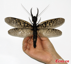 Giant insect discovered in China is as big as a sparrow bird