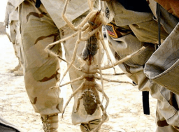 Soldiers hold two Camel Spiders locked in a death grip