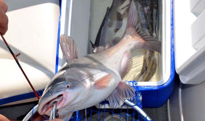 Can You Eat Saltwater Catfish? Why or Why Not - Reel Pursuits