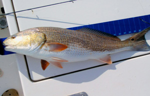 how to catch redfish 2