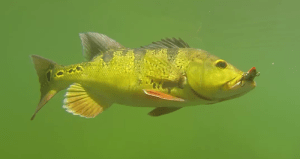 how to catch peacock bass