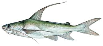 hardhead catfish