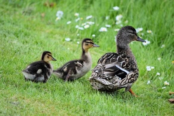 ducklings-and-ducks-1407039437Rwg