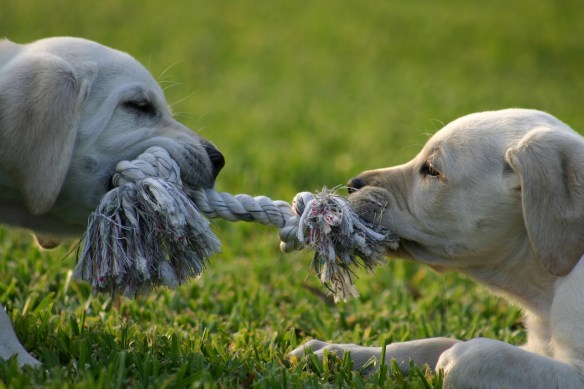 puppy-tug-of-war