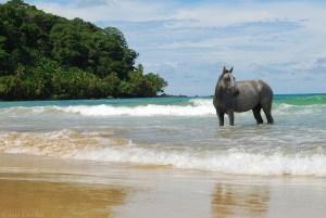 Horse at Isla Bastimentos in Bocas del Toro, Panama