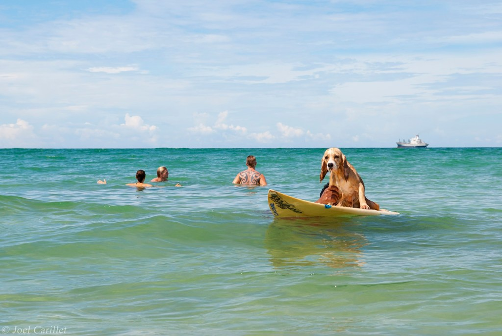 Surfing dog in Bocas del Toro, Panama